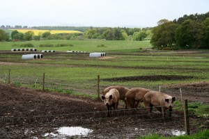 Research finds that revoking pig swill ban could reduce land usage